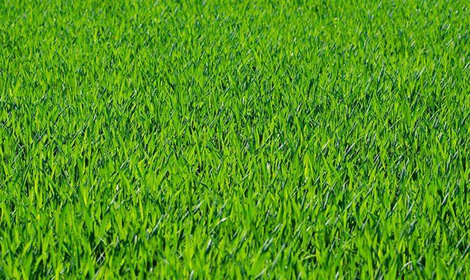 En bild på en grön, tät gräsmatta.