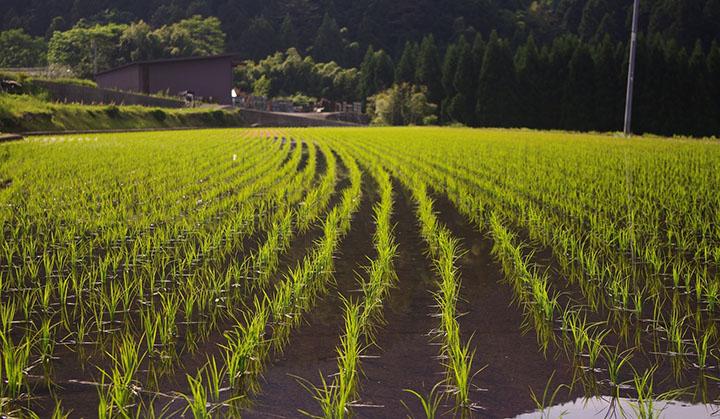 Ett risfält med risplantor.